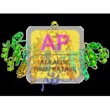 Alkaline Phosphatase Antibody (mAb) - Mouse