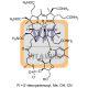 Vitamin B-12 Antibody (pAb) - Rabbit
